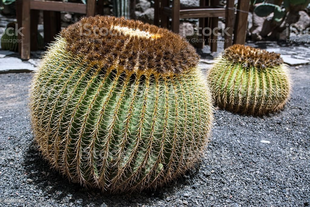 Cactus, Gran Canaria - Spagna stock photo