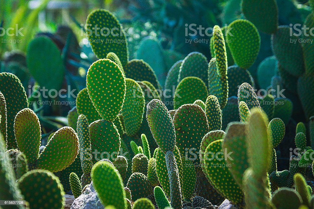 Cactus, Green Cactus Gargen 2 stock photo