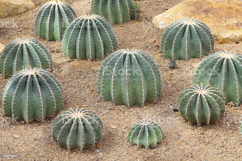 Cactus grows in sandy soil stock photo
