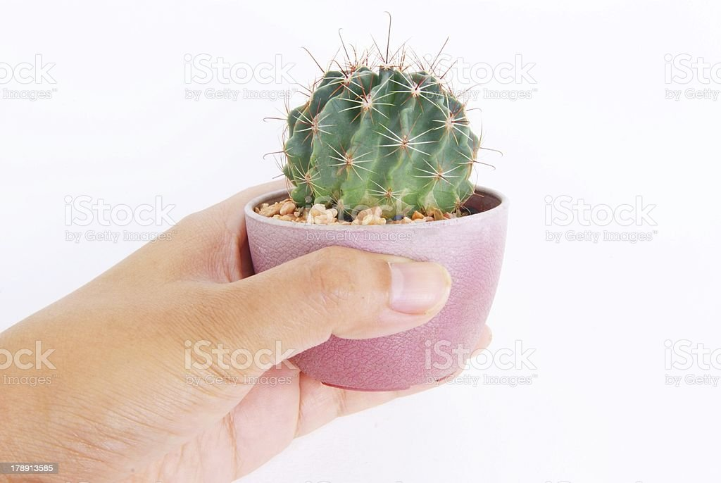 cactus in a pot royalty-free stock photo