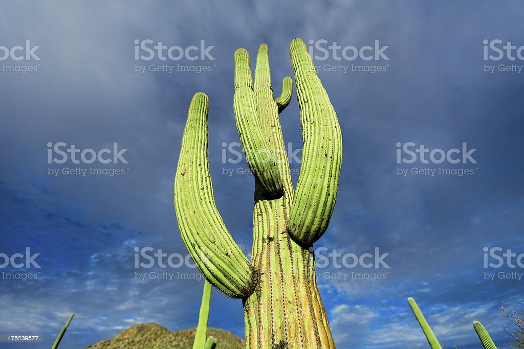cactus in Arizona desert against the sky royalty-free stock photo