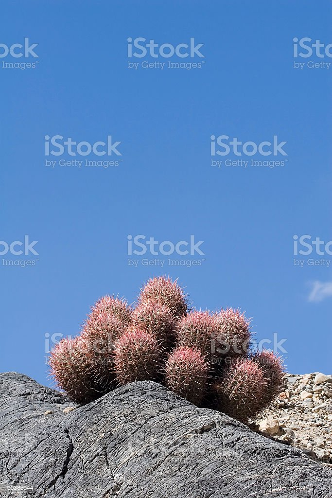 Cactus in Death Valley royalty-free stock photo