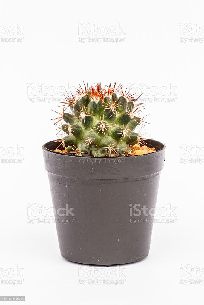 Cactus in flowerpot stock photo