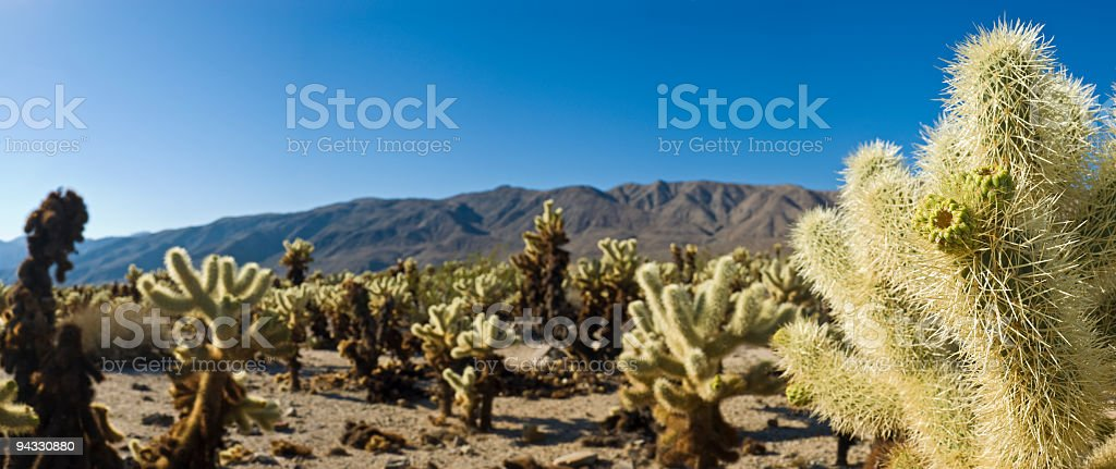 Cactus in Joshua Tree National Park royalty-free stock photo