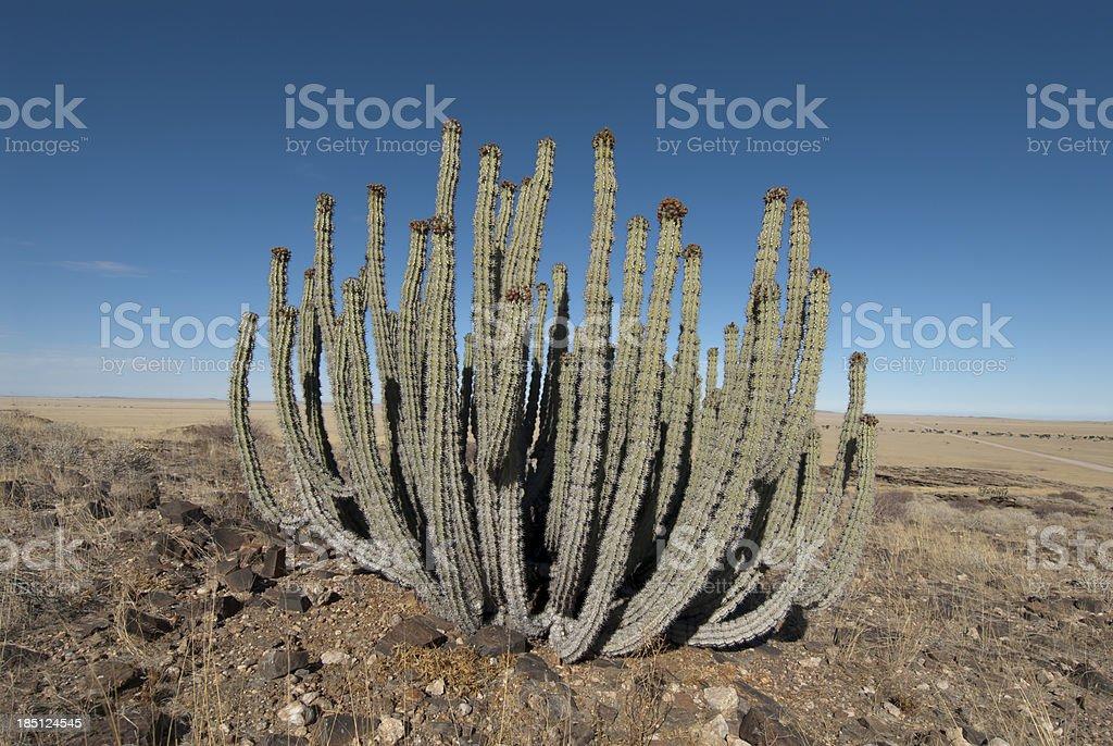 cactus in namib desert stock photo