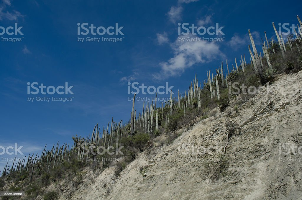 Cactus in organ pipe stock photo