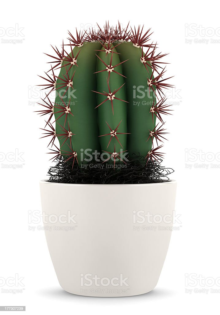 cactus in pot isolated on white background stock photo