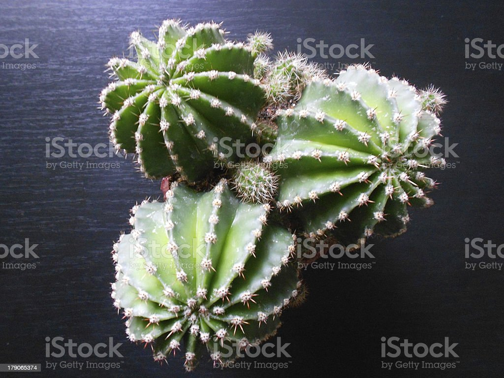 Cactus in pot royalty-free stock photo