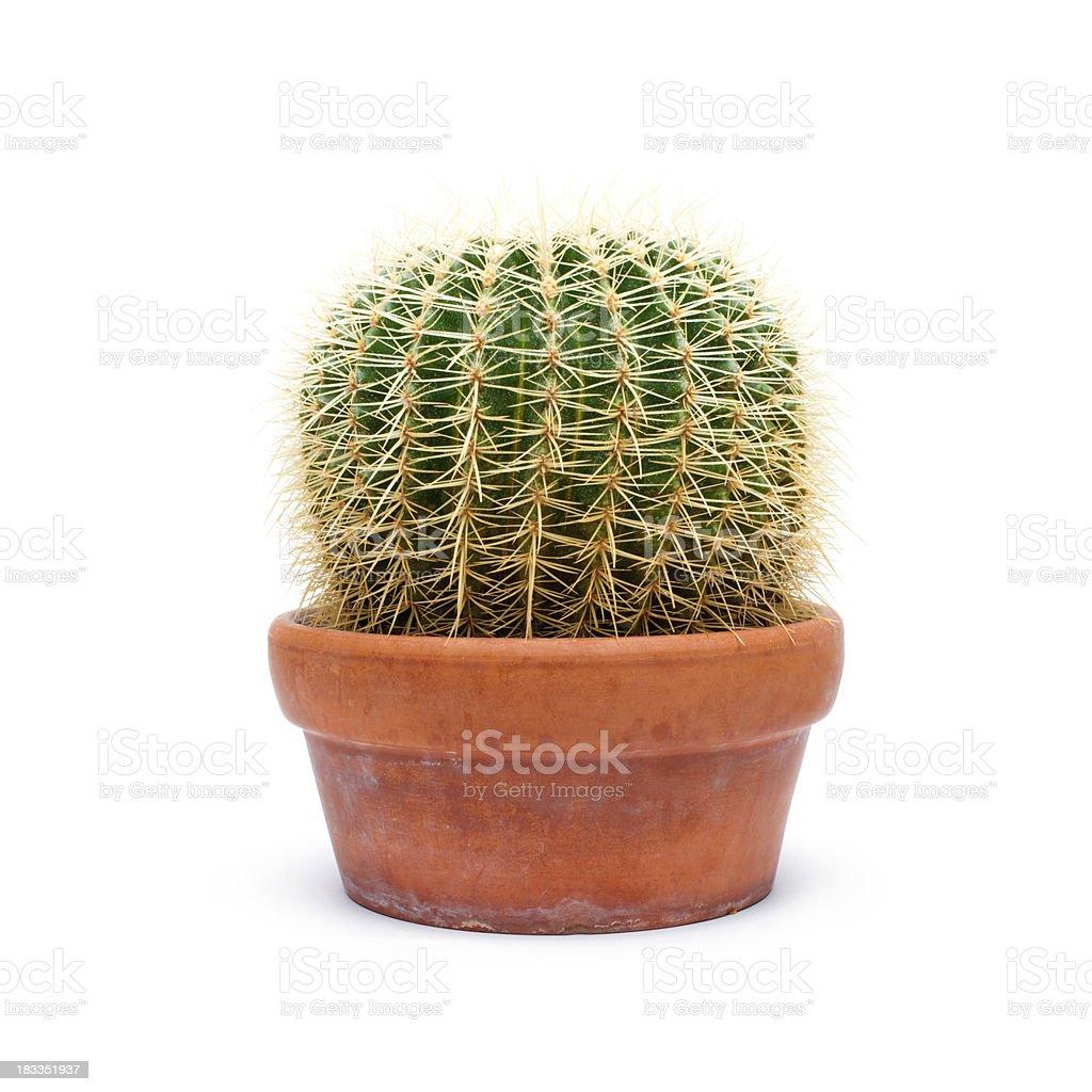 Cactus in Pot stock photo