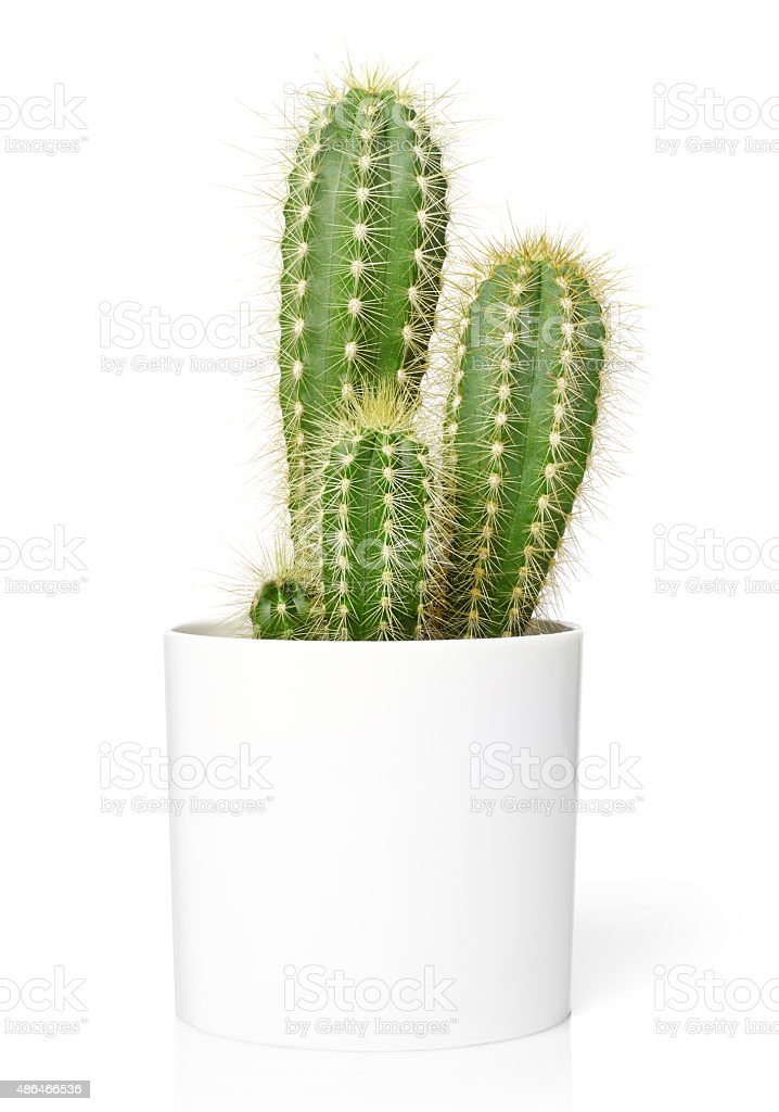 Cactus in pot stock photo