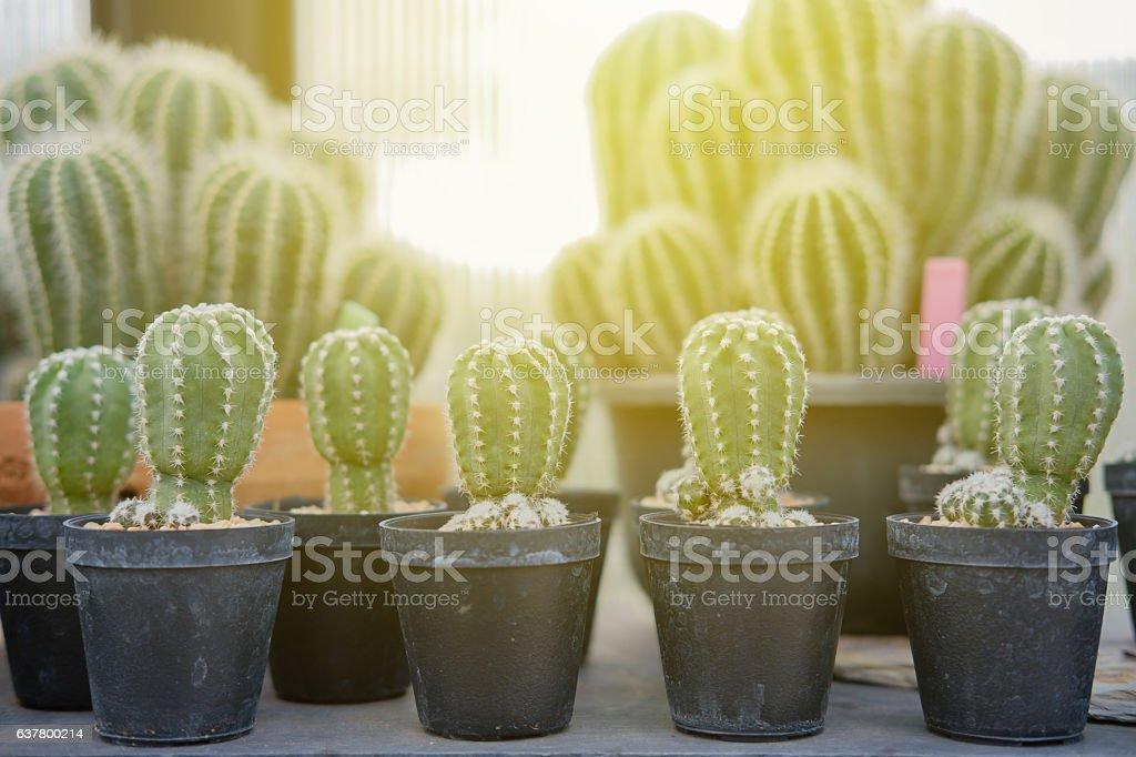 Cactus in pots. stock photo