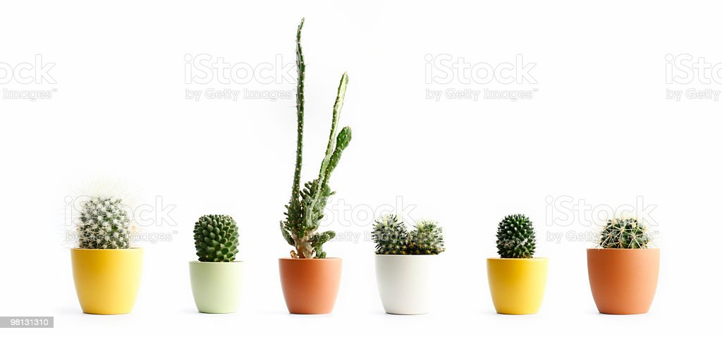 Cactus in pots stock photo