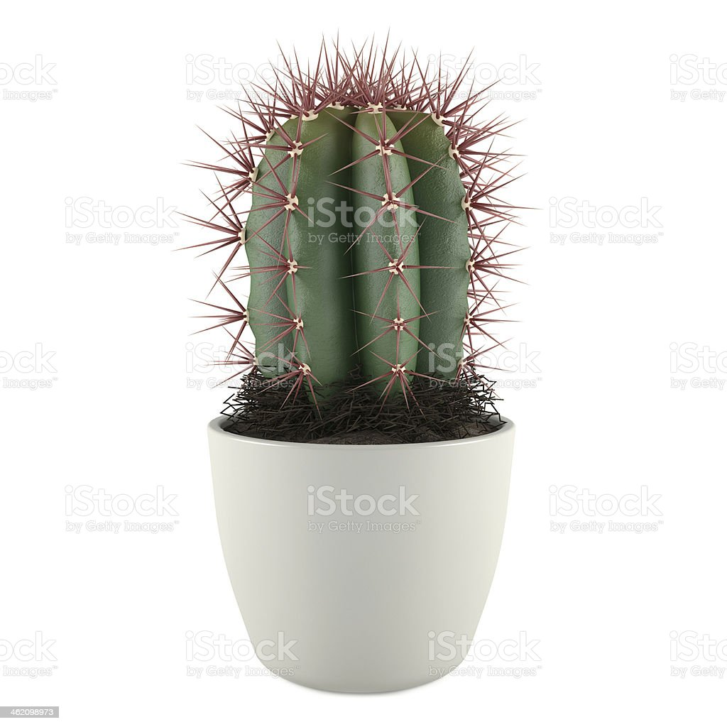 Cactus in the pot stock photo