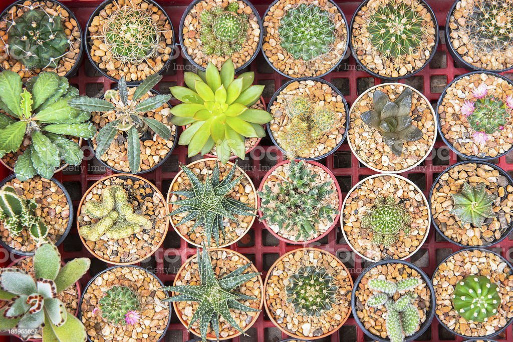 cactus in the pots royalty-free stock photo
