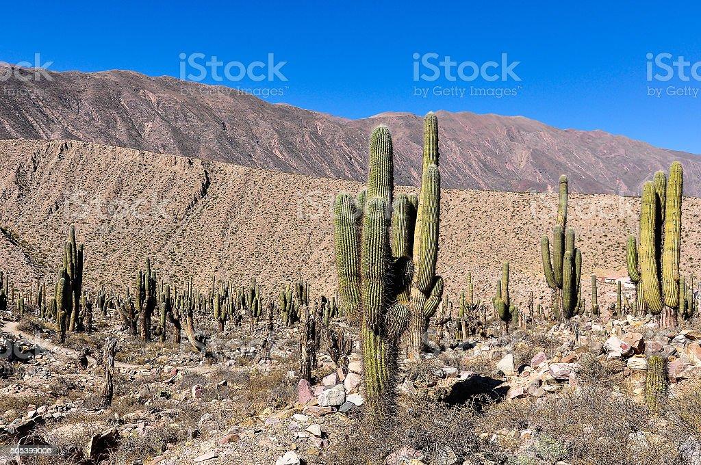 Cactus in the Quebrada de la Humahuaca, Argentina stock photo
