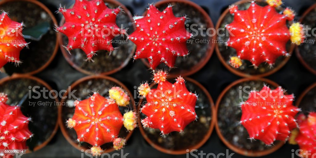 cactus in the small pot in earth ware , small flower shop stock photo