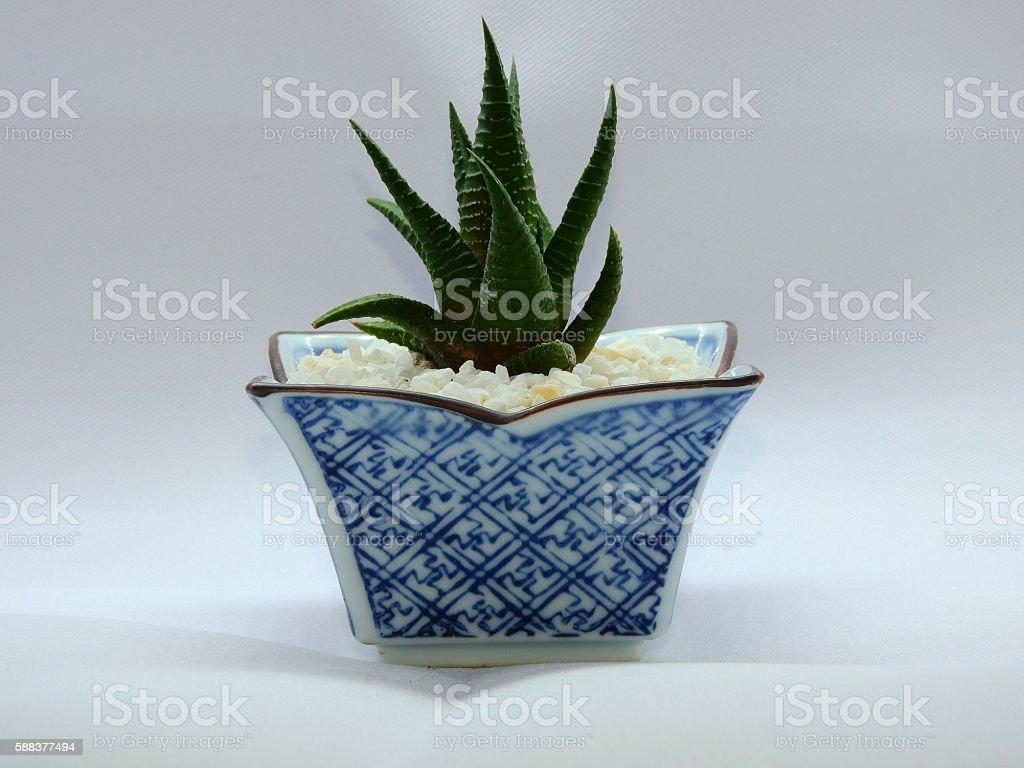 Cactus indoor stock photo