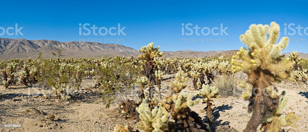 Cactus, Joshua Tree NP royalty-free stock photo