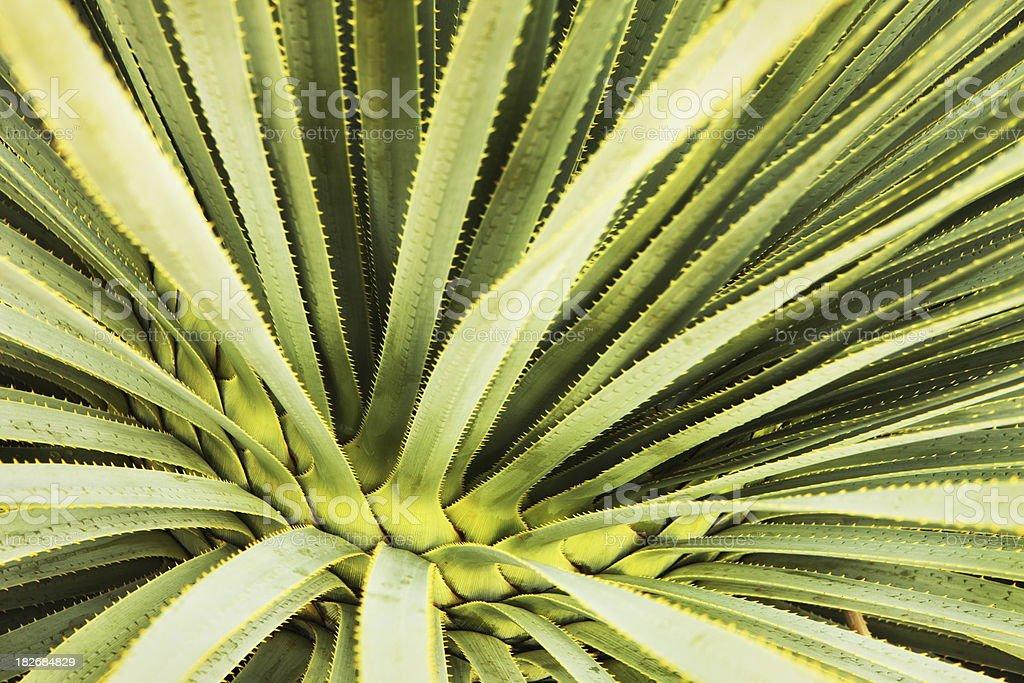 Cactus Leaf Frond Desert Plant royalty-free stock photo