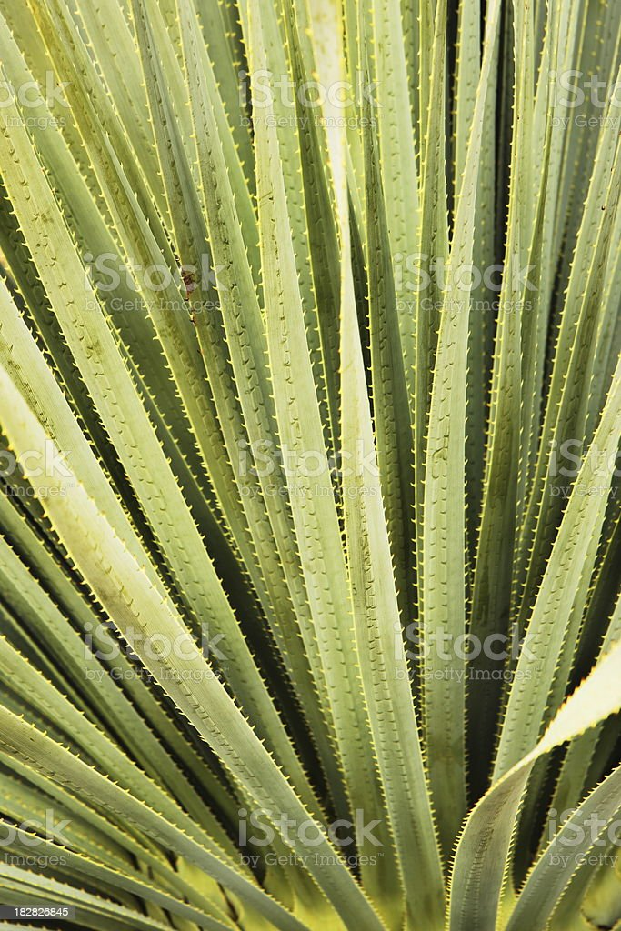 Cactus Leaf Frond Desert Plant royalty-free stock photo