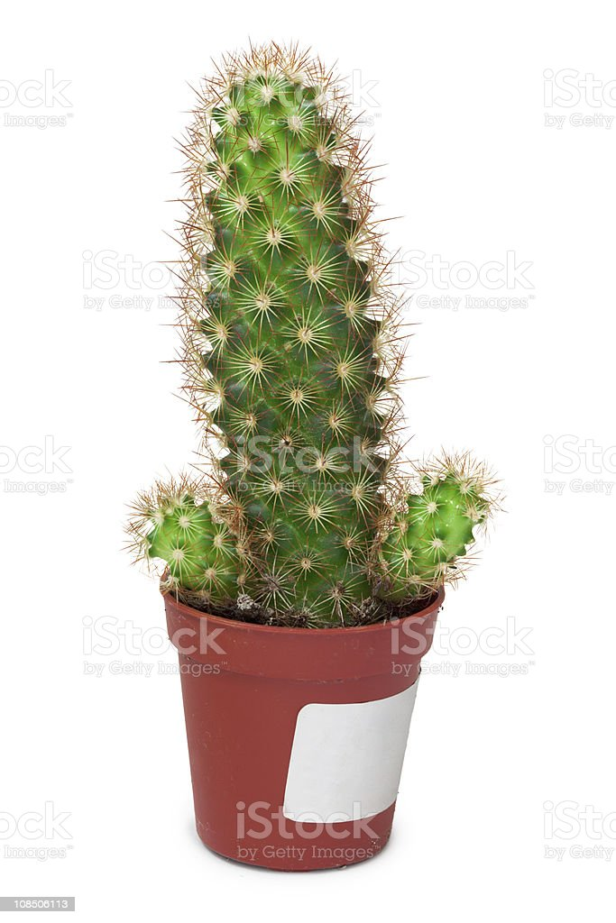 Cactus like a penis on white background stock photo