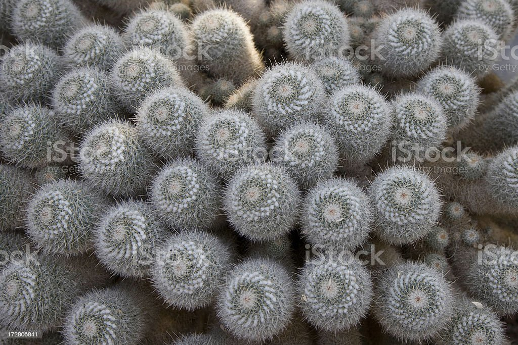 Cactus - Lots of Babies royalty-free stock photo
