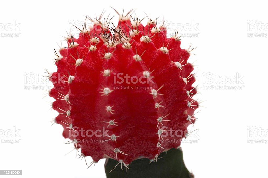 Cactus macro royalty-free stock photo