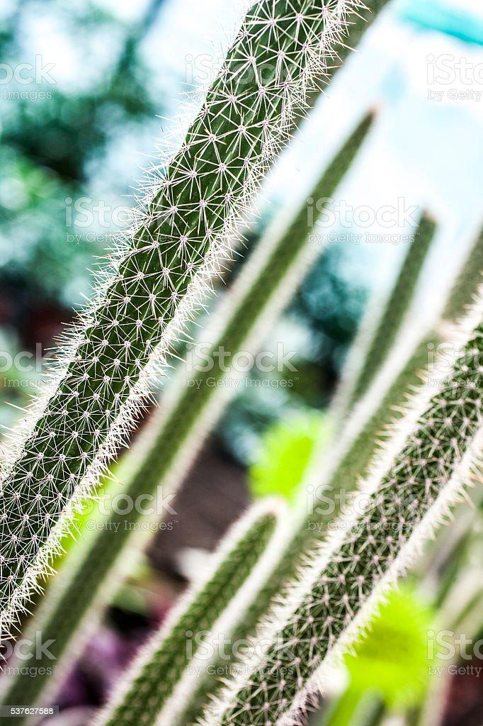 Cactus needles stock photo