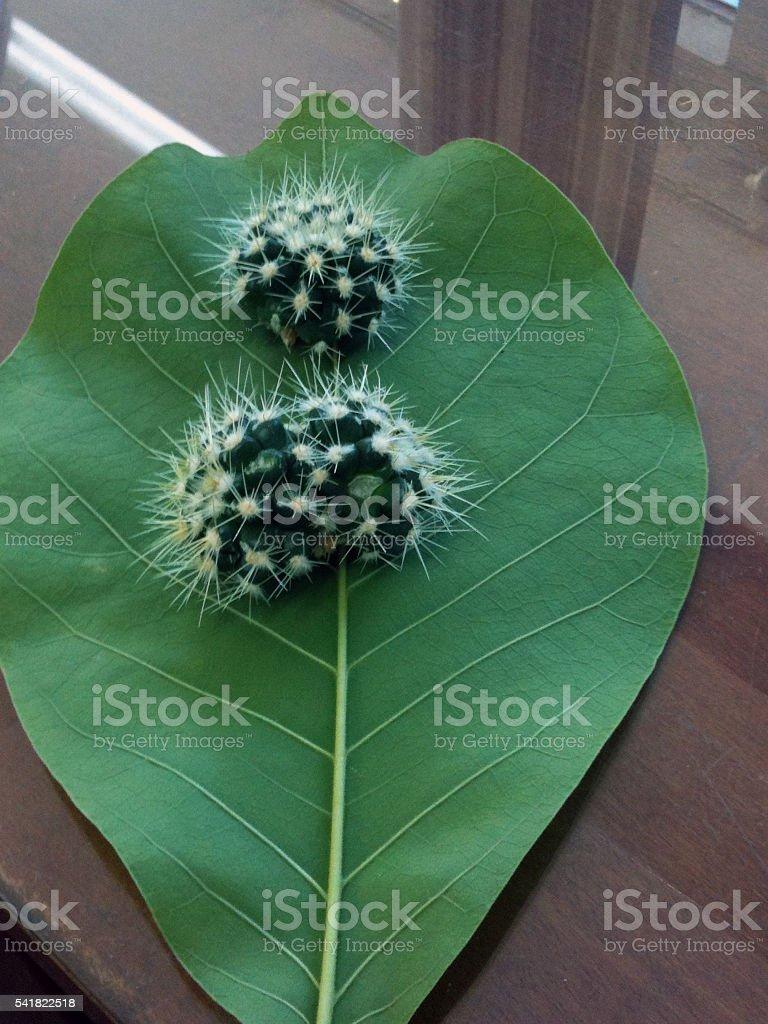 Cactus on a leaf stock photo