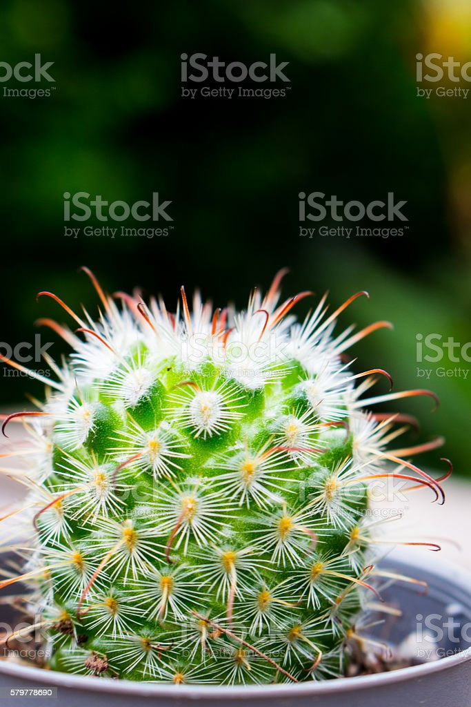 Cactus on a wooden table natural background blur. stock photo