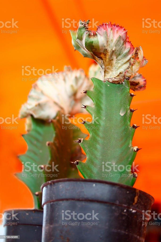 Cactus on orange background royalty-free stock photo