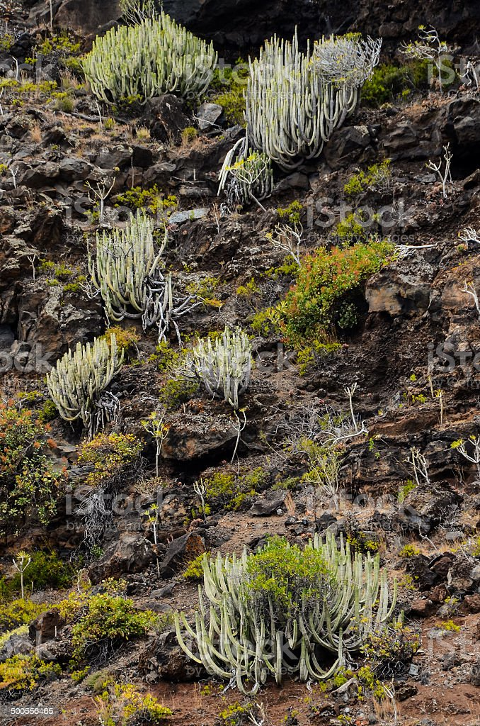 Cactus on the Basaltic Volcanic Mountain royalty-free stock photo
