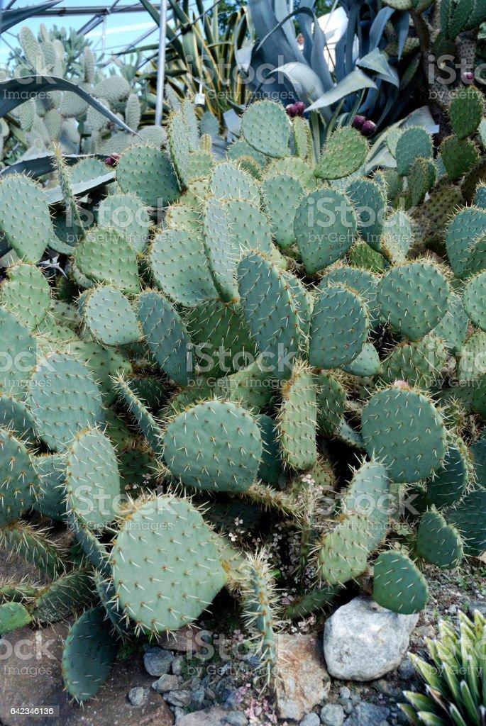 Cactus Opuntia ficus indica. stock photo