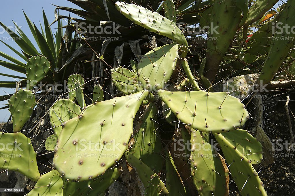 Cactus Opuntia on the nature royalty-free stock photo
