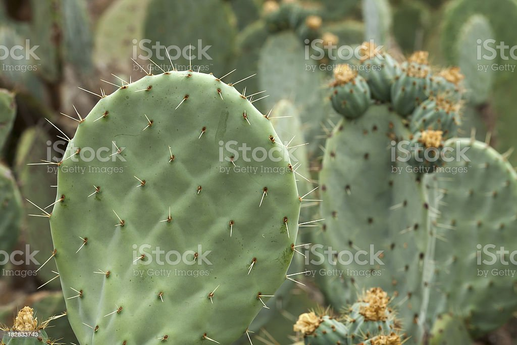 Cactus Patch royalty-free stock photo