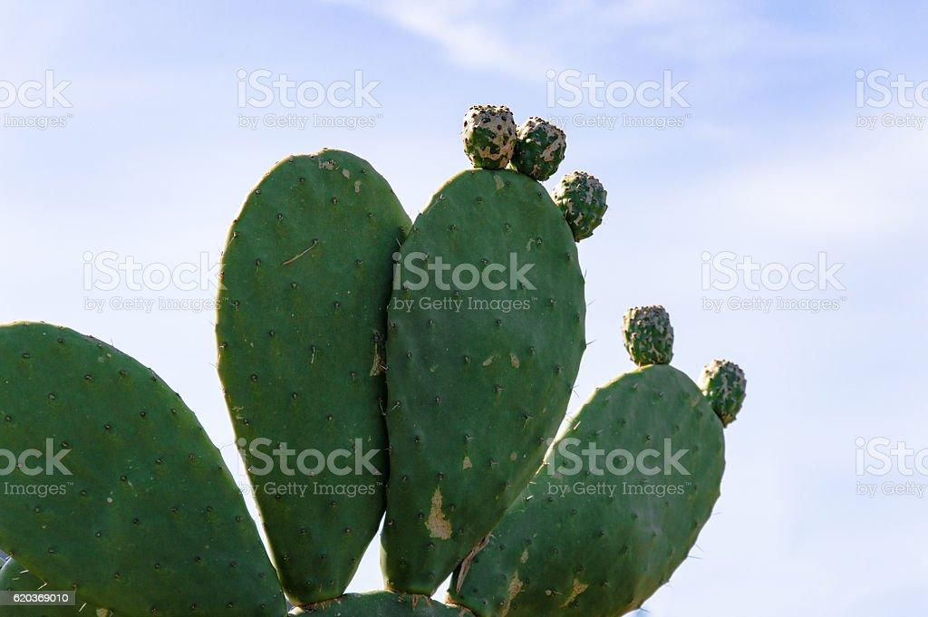 Cactus pear stock photo