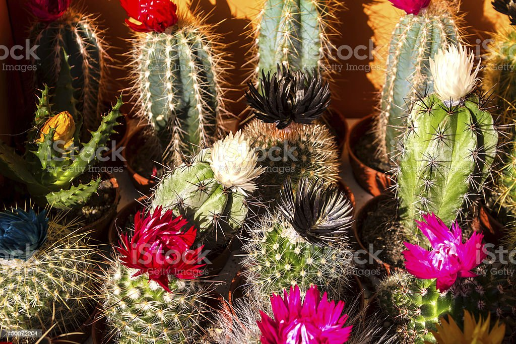 Cactus royalty-free stock photo