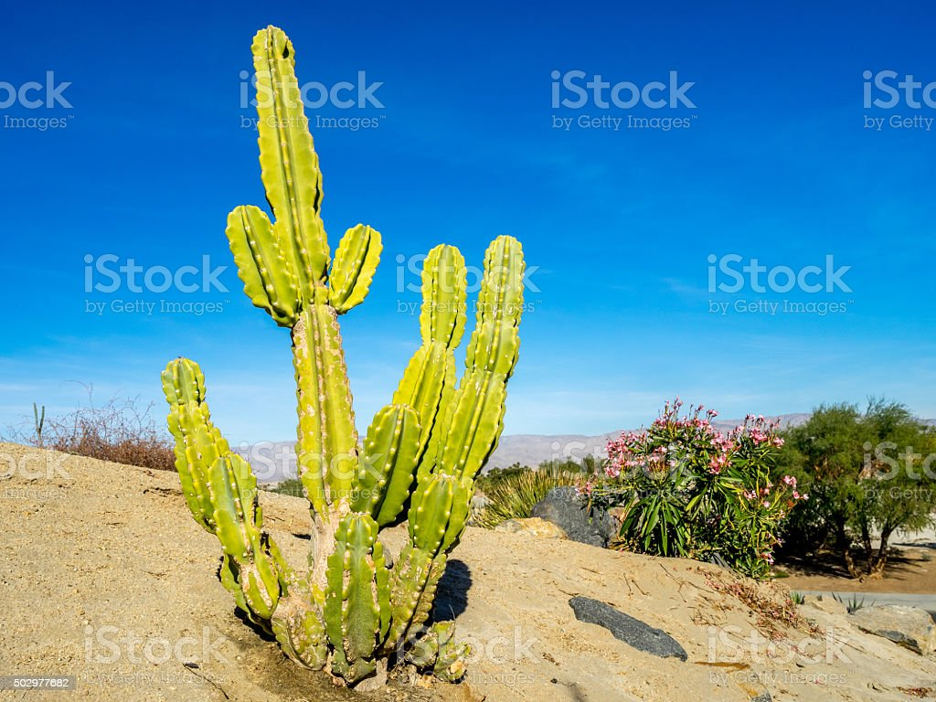 Cactus plant from North America stock photo