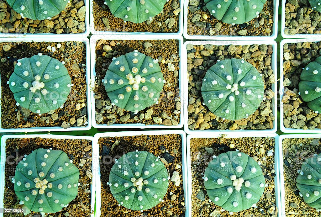 Cactus plant qrowing in flowerpot stock photo