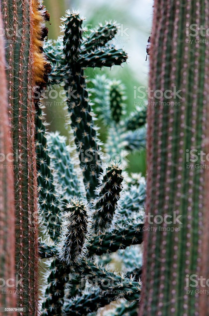 Cactus plants in botanical garden royalty-free stock photo
