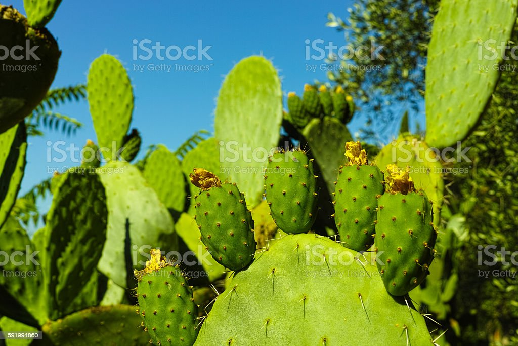 Cactus prickly pear opuntia with unripe green fruits stock photo