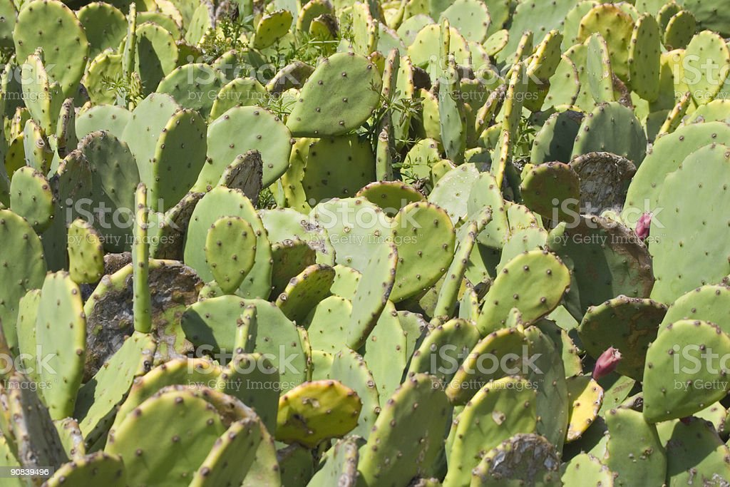cactus - prickly pear stock photo