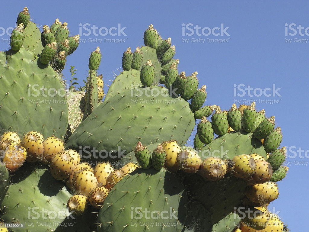 Cactus Prickly PearTuna Fruit royalty-free stock photo