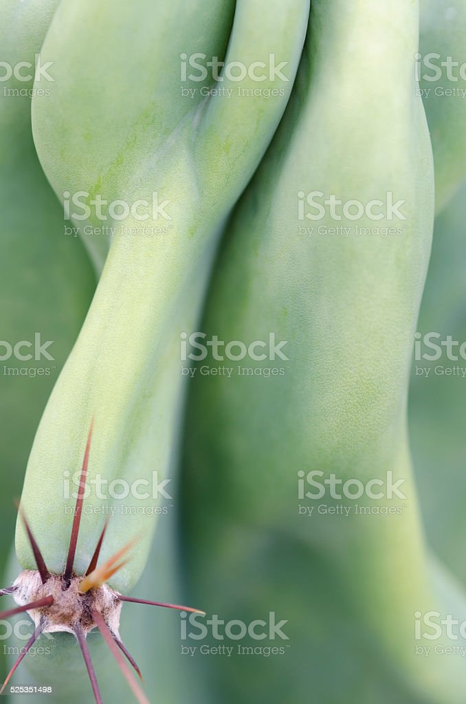 cactus rib and spine abstract stock photo