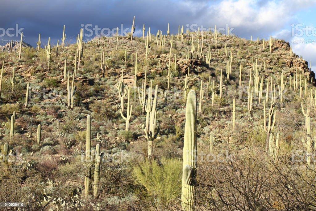 Cactus - Sabino Canyon - Tucson - USA stock photo