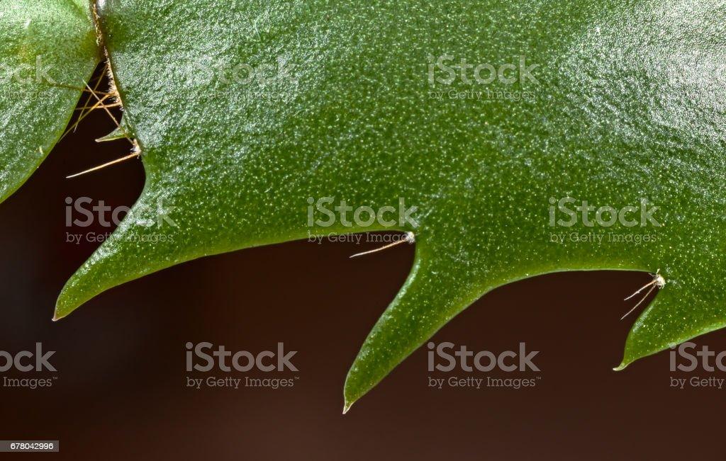 Cactus Schlumbergera truncata stock photo