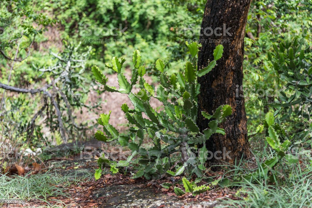 Cactus succulent plant in mountain rain forest. stock photo