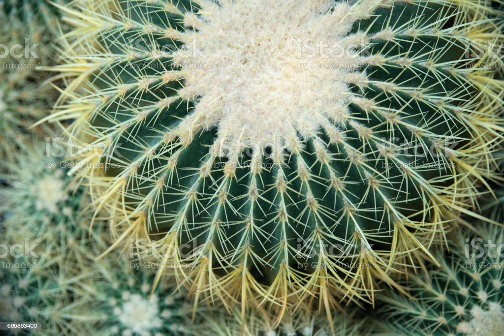 cactus texture background stock photo