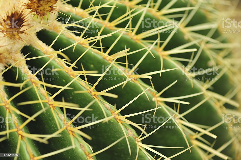 cactus thorn royalty-free stock photo