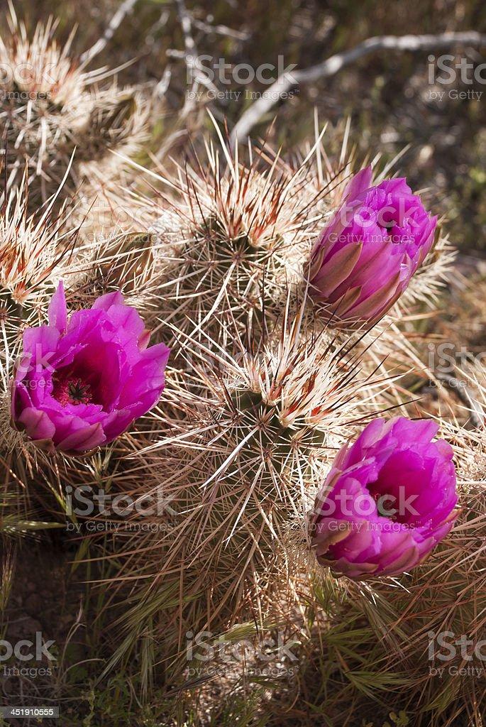 Cactus thorns and Flowers near Hackberry Springs Arizona stock photo